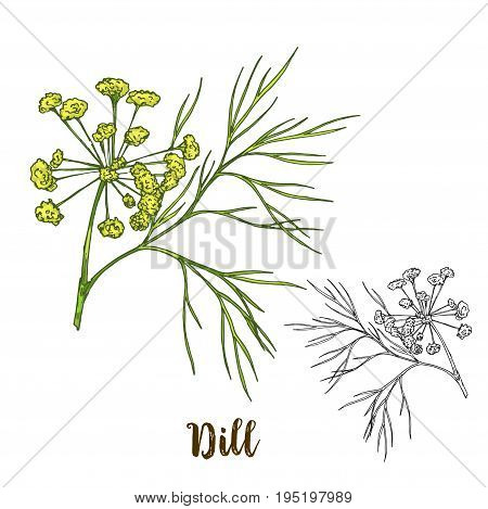 Full color realistic sketch illustration of dill, vector illustration