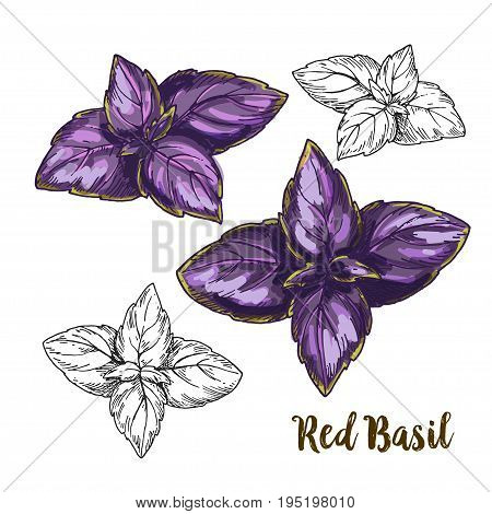 Full color realistic sketch illustration of red basil leaves, vector illustration