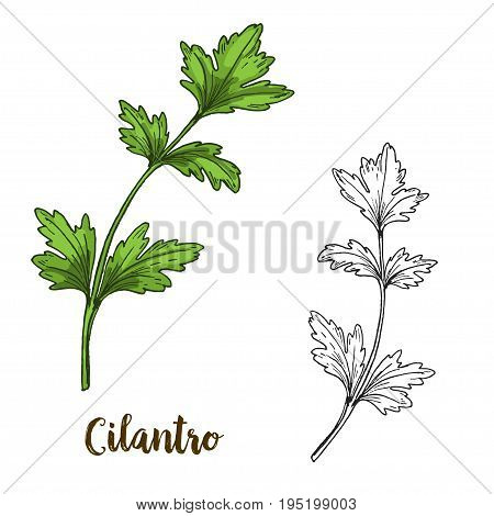 Full color realistic sketch illustration of cilantro, vector illustration