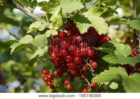 Redcurrant berries in the summer garden, background