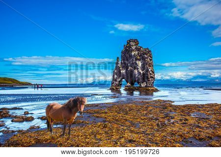 Sleek Icelandic horse wandered on the coastal shelf. The Basalt rock - Monster Hvitsercur during an ocean outflow. Concept of extreme northern tourism in Iceland