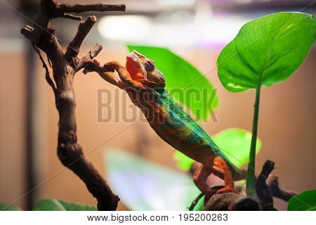 The Panther Chameleon reaches for a tree branch. Zoo Of Saint-Petersburg, Russia.