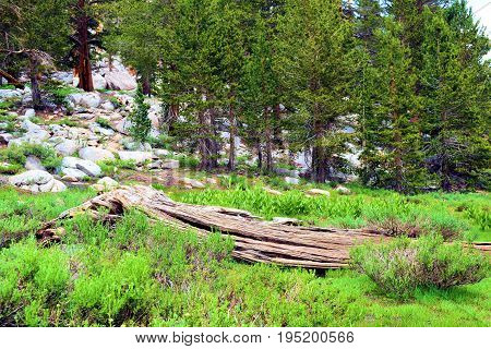 Lush green alpine meadow surrounded by a pine forest taken in the Sierra Nevada Mountains, CA