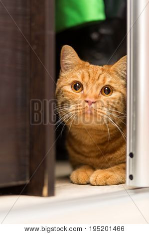 Red-haired adult cat hiding in the closet cautiously looking out