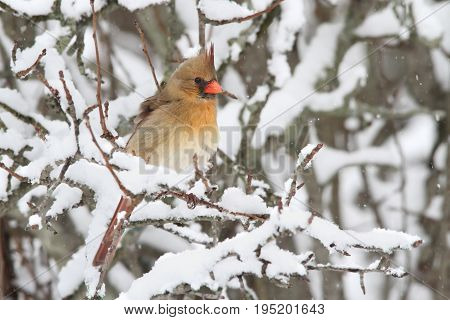 Female Northern Cardinal (cardinalis cardinalis) on a branch in a snow storm