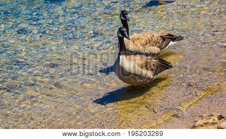 Two Geese On Shallow Beach On Mountain Lake