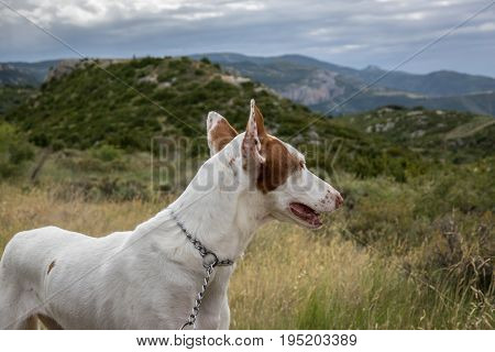 Podenco Ibicenco - White Ibizan Warren Hound, is one of the medium-sized greyhounds descended from the dogs of ancient Egypt. Very old and pure race. Portrait long snout and ears