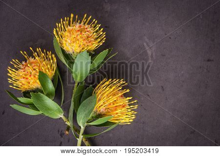 Yellow leucospermum cordifolium flower (pincushion protea) on black concrete background