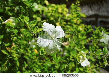 Tropical flower white hibiscus on green bush. Flower with white petals. Exotic flower on bush with green leaf. Sunny garden with tropical flower. Blossom plant botanical photo. Tropical garden in sun