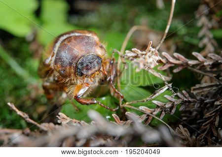 Common Cockchafer On Plants. Pest In His Environment
