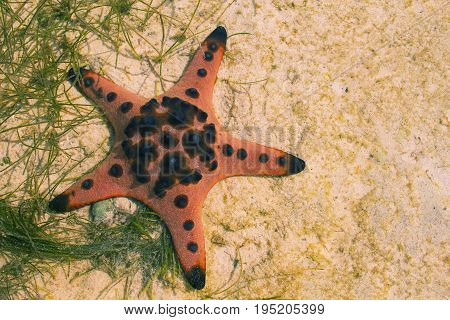 Orange pillow starfish on white sand in sea water. Shallow sea water during low tide. Seashore underwater animal. Star fish on white sand. Coral beach with marine animal. Star fish on seashore photo