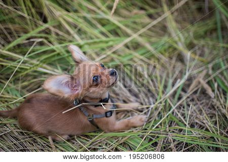 Small puppy of chihuahua for the first time on a walk and playing in nature on the field