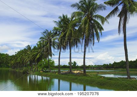 Fluffy coco palm tree between two ponds. Rice paddles and palms. Tropical nature beautiful landscape. Summer travel photo. Idyllic palm view under. Sunny day in tropics. Asian rural agriculture