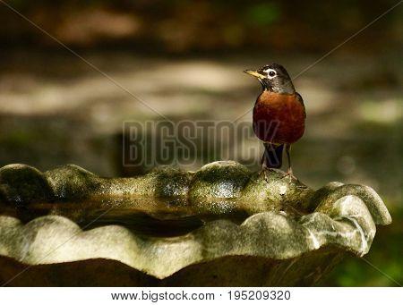 Single Robin poised on cement bird bath with golden light