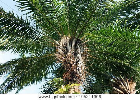 Palm Elaeis guineensis Arecaceae in Asia, Thailand