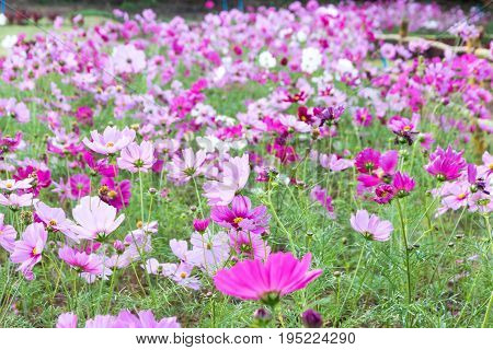Pink And Red Cosmos Flowers