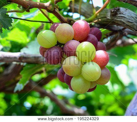 Grapes On The Vine In Phan Rang, Vietnam