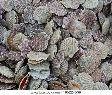 Scallop For Sale At A Seafood Market