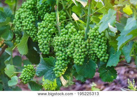 Vine green grape in champagne vineyards at montagne de reims France