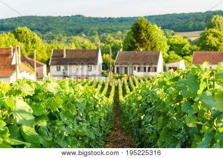 Close up row vine green grape in champagne vineyards at montagne de reims on countryside village background France