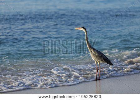Egret walking on the beach at Maldives