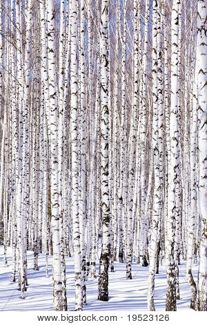 Winter birch forest - winter serenity. Ideally suits for calendars.