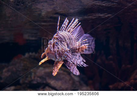 The Coral Reef Red Lionfish, Pterois Volitans