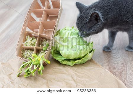 Gray cat sniffing food, green cabagge and micro greens. Cutted microgreens on crumpled craft paper. Healthy eating concept of fresh garden produce organically grown as a symbol of health