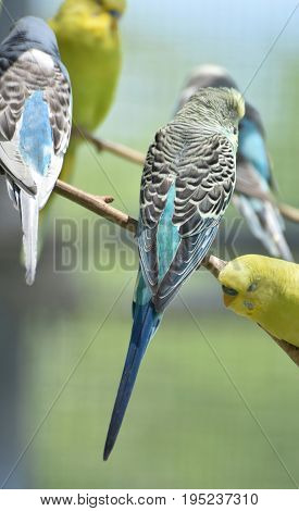 Colorful patterns on the wings of budgies in a tree.