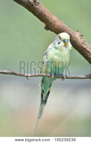 Very pretty light pastel budgie on a tree branch.