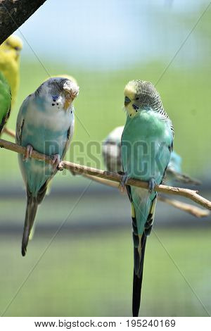 Pale pastel budgies perched on a tree branch.