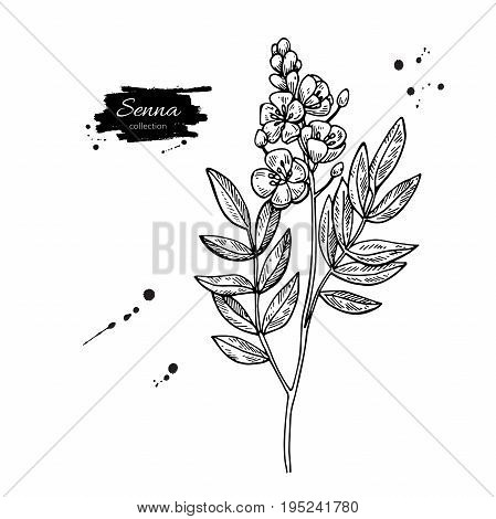 Senna vector drawing. Isolated medical flower and leaves. Herbal engraved style illustration. Detailed botanical sketch for tea, organic cosmetic, medicine, aromatherapy