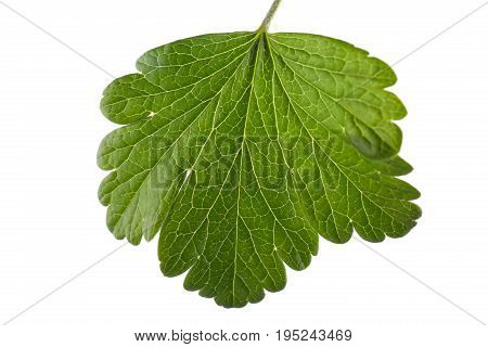 Fresh, and bright green leaf from a currant bush, isolated on a white background. Bright red or black currant leaf. Wonderful and fresh summer leaves.