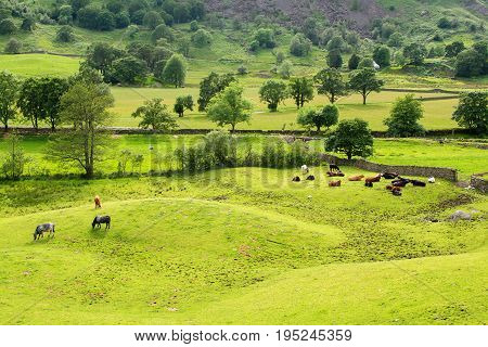 Rural landscapes in Lake District National Park, England, stone walls, cows, mountains on the background, selective focus