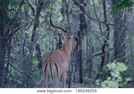 Common male impala with broken horn in the wild surrounded by trees