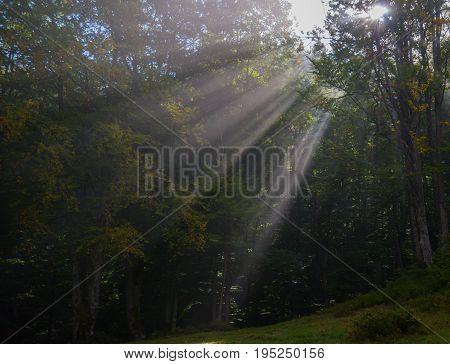 Autumn beech forest. Sunbeams penetrate morning fog.