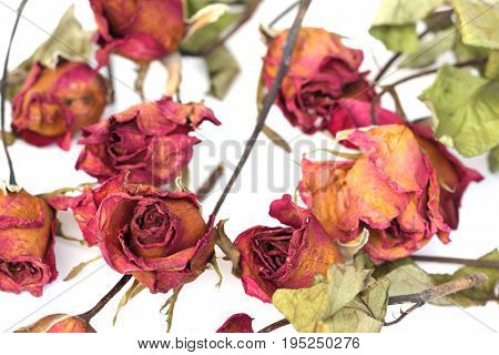 Many of beautiful whithered roses on white background.