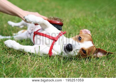 Jack Russell Terrier .The dog smothers on the grass