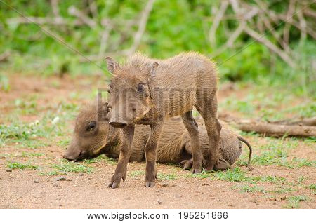 Two small baby warthogs one laying and one standing while keeping watch and offering protection in the wild.