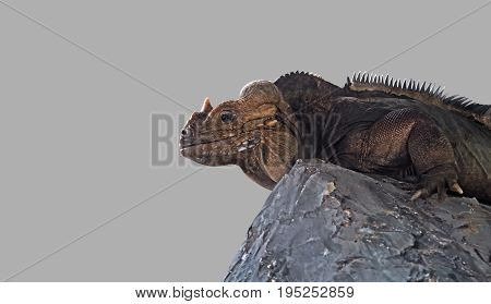 Rhinoceros Iguana Lie Down on The Rock on Gray Background