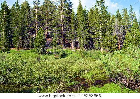 Lush green meadow with a creek surrounded by a pine forest taken in the Sierra Nevada Mountains, CA