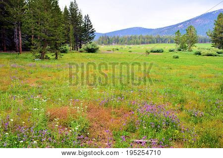 Lush green meadow with wildflowers surrounded by a pine forest and mountains taken at Horseshoe Meadow in the Sierra Nevada Mountains, CA