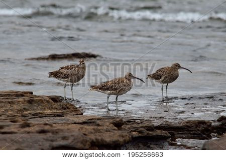 Group of three curlew on the seashore in low tide