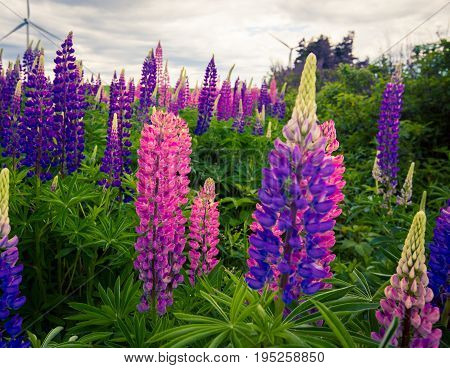 Colourful wild lupines in a field in Prince Edward Island