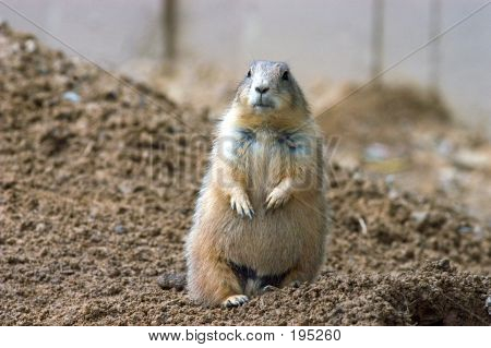 poster of prairie dog on guard