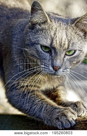 Gray cat sharpening its claws on the feet