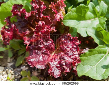 Red Leaves Of Lettuce Growing On A Bed In Garden