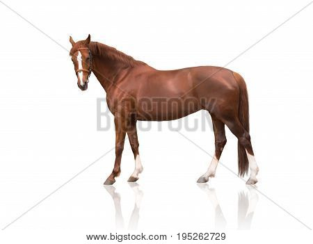 exterior of red horse in bridle with three white legs and white line of the face isolated on white background
