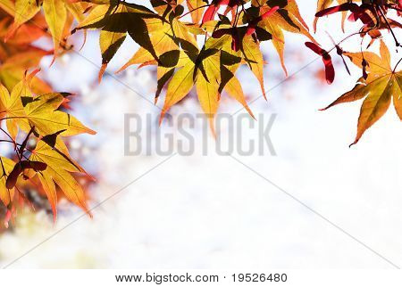 maple leaves form a border