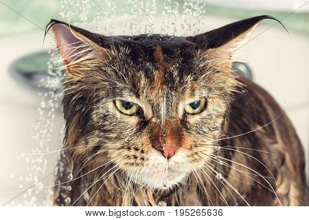Funny cat Maine Coon. Wet cat in the bath.